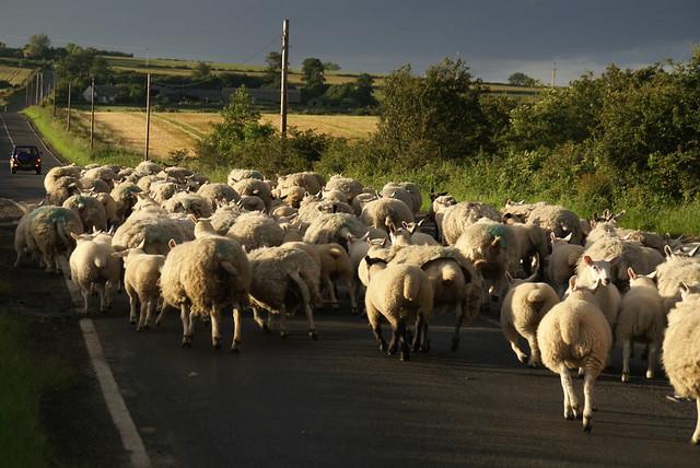 Herd of sheep, une image de Ian Britton (cc by-nc 2.0). L'image présente un troupeau de mouton au milieu d'une route. Au loin, un auto arrive vers les moutons.