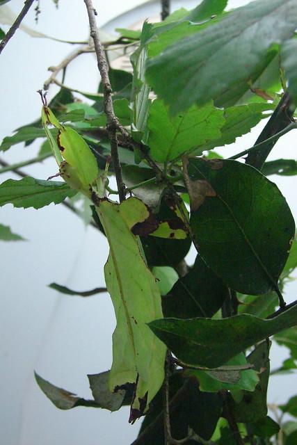 Phasme feuille, une image de Sylvain Gamel (cc by-nc 2.0). Description de l'image: photo en plan rapproché de feuillage, sur lequel, si on est perspicace, on aperçoit un phasme feuille, insecte qui prend l'apparence de son environnement. Coco de pâques: en écrivant ce texte, je me suis donné envie de mettre dorénavant des easter egg textuels dans mes descriptions d'images. Stay tuned, happy fews!