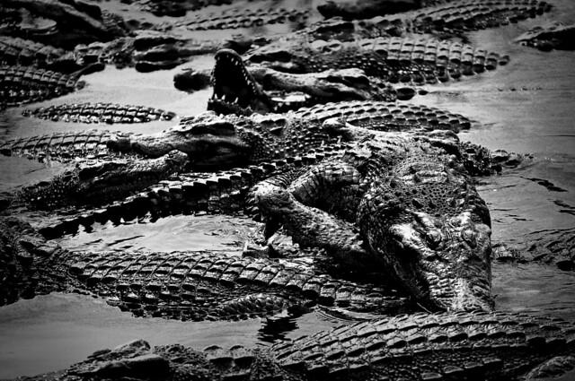 swarm, une image Dania Do Svidaniya (cc by 2.0). Description de l'image: gros plan sur un essaim d'une vingtaine de crocodiles à la surface de l'eau.