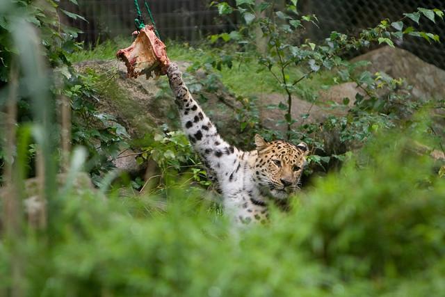 Establishing Ownership, une image de Mats Lindh (cc by 2.0). L'image présente un jaguar la patte relevée, attrapant des griffes un morceau de viande qui pend au bout d'une corde.