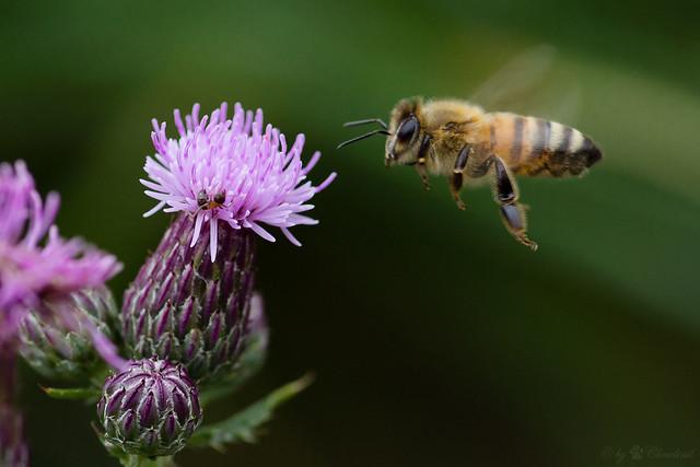 """landing, une image de Cloudtail the Snow Leopard (cc by-nc-nd 2.0). Description de la photo: en très gros plan, une abeille est sur le point de se poser sur une fleur de bardane. Coco de pâques: j'ai aussi tenté une recherche avec les termes """"plante qui ressemble à un troll"""" sans grand succès pour identifier le fluffy derrière la station Saint-Laurent. Cocon, je compte sur toi pour trouver le nom quand on l'aura vu."""